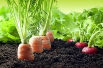13711669-vegetables-in-the-garden