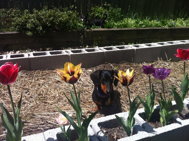 Dashel enjoying the flowers before being kicked out of the beds.
