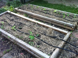 Side Beds (2 of 4): Beans, Squash, Sweet Corn