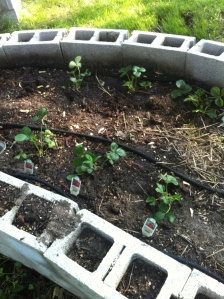 Strawberries are in the ground.